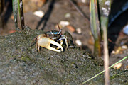 Fiddler Crab Prints - Fiddler on the Marsh Print by Greg Graham
