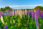 Matt Dobson - Field Filled with Lupins