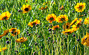 Black Eyed Susan Print Prints - Field of Black Eyed Susan Print by Sheri McLeroy