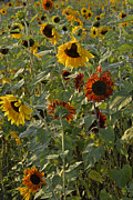 Yellow And Orange Sunflower Prints - Field of Color Print by Roy Thoman