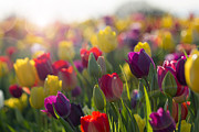 JPLDesigns - Field of Colorful Tulips...
