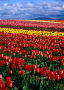Puget Sound Photographs Prints - Field of Colors Print by David  Forster