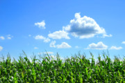 Blue Clouds Prints - Field of corn in August Print by Sandra Cunningham