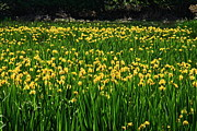 Outdoor Life Framed Prints - Field Of Daffodils  Framed Print by Aidan Moran