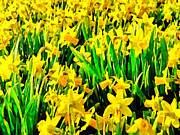 Phipps Conservatory Prints - Field of Daffodils Print by Digital Photographic Arts