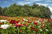 Judy Hall-Folde - Field of Flowers