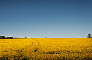 Steve Purnell Photo Metal Prints - Field of Gold Metal Print by Steve Purnell