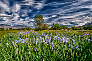 Purple Clouds Prints - Field of Iris Print by Cat Connor