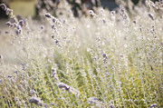 Artist and Photographer Laura Wrede - Field of Lavender at Clos LaChance Vineyard in Morgan Hill CA