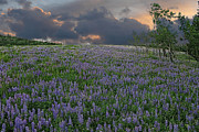 Ed Hall - Field of Lupine