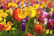 JPLDesigns - Field of Mixed Colors...
