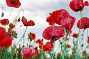 11th Green Photos - Field of Poppies Against Grey Sky  by Tracey Harrington-Simpson