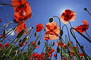 Field Of Poppies At Spring Print by Sami Sarkis