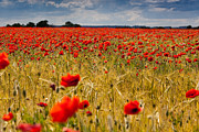 Darren Peet - Field of poppies