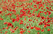 Field Photographs Posters - Field of Poppies Poster by Natalie Kinnear
