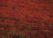 Toi Posters - Field Of Red Poppies Poster by Ian Cumming