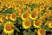Saint-remy De Provence Prints - Field of Sunflowers Print by Brian Jannsen