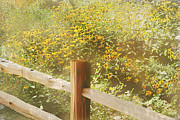 Split Rail Fence Prints - Field of Sunflowers Print by Elaine Frink