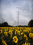 Seeds Digital Art Posters - Field of sunflowers Poster by Elena Nosyreva