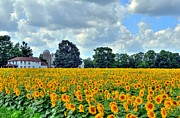 Field Of Sunflowers Print by Kathleen Struckle