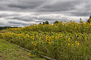 Roni Chastain - Field of Sunflowers