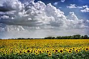 Tamyra Ayles - Field of Sunflowers