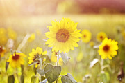 Canon 7d Framed Prints - Field of Sunshine Framed Print by Scott Pellegrin