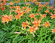 Lily Art - Field of Tiger Lillies by Aimee L Maher