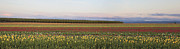 JPLDesigns - Field of Tulips Panorama