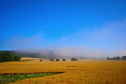 Ripe Originals - Field of wheat with morning mist by Tommy Hammarsten
