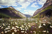 Sandra Cunningham - Field of wild flowers with Rocky Mountains in background