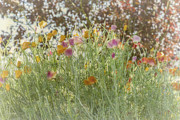 Elaine Teague - Field Poppies