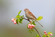 Wetmore Prints - Field Sparrow on Apple Blossoms Print by Daniel Behm