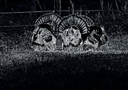 Turkey Digital Art Metal Prints - Field Strutters Metal Print by Todd Hostetter