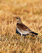 Paul Scoullar - Fieldfare