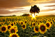 Summer Sun Photos - Fields of Gold by Debra and Dave Vanderlaan