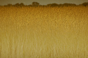 Hamptons Art - Fields of Gold nature abstract by Anahi DeCanio