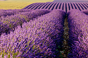 Crop Lines Art - Fields of Lavender by Brian Jannsen