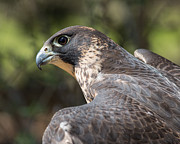 Peregrine Falcon Prints - Fierce Predator Print by Dale Kincaid