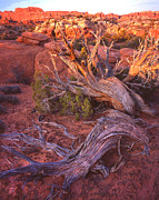 Juniper Tree Framed Prints - Fiery Furnace Juniper Framed Print by Ray Mathis