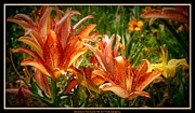 Florals On Canvas Posters - Fiery Lillies Poster by Bobbee Rickard