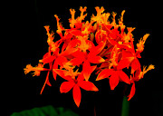 Lydia Holly - Fiery Orchid