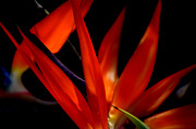 Yellow Bird Of Paradise Posters - Fiery Red Bird of Paradise Poster by Susanne Van Hulst