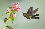 Juan Carlos Vindas Metal Prints - Fiery-throated Hummingbird Metal Print by Juan Carlos Vindas