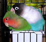 Peach-faced Lovebird Posters - Fifi and Tut Poster by Rosanne Licciardi