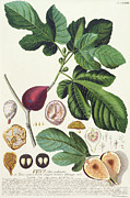 Flora Painting Prints - Fig engraved by Johann Jakob Haid  Print by German School