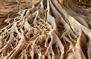 Tree Roots Posters - Fig Tree Roots in Balboa Park Poster by Anna Lisa Yoder