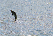 Salmon Photos - Fighting Chinook Salmon by Mike  Dawson