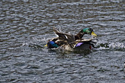 Roger Lewis Metal Prints - Fighting Ducks Metal Print by Roger Lewis