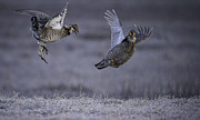 Matting Metal Prints - Fighting Prairie Chickens Metal Print by Thomas Young